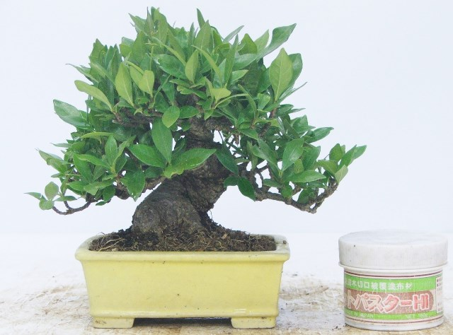 Gardenia (Gardenia Jasminoides) Bonsai Tree Type (Indoors)