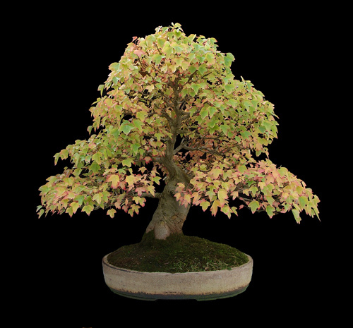 Maple - Trident (Acer Buergerianum/Acer Trfidum) Bonsai Tree Type (Outdoors)