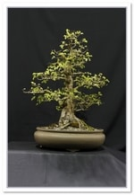 Bonsai Show Tree