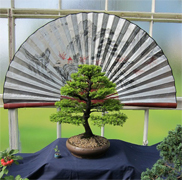 National Exhibition Western Hemlock Bonsai Photo