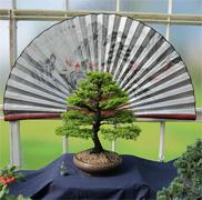 National Exhibition Western Hemlock Bonsai Photo
