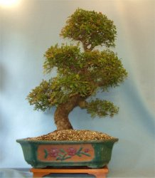 Elm - Chinese (Ulmus parviflora) - Bonsai Tree Type (Indoors)