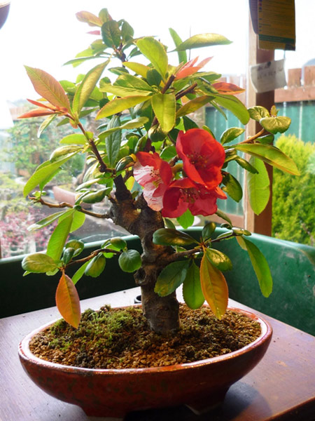 Quince - Japanese - Bonsai Tree Type (Outdoors)