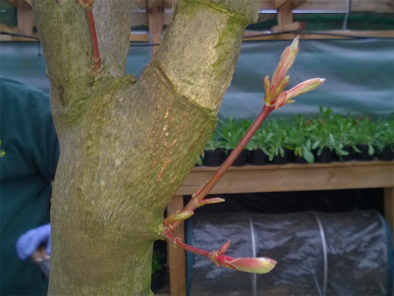 Bonsai-Axilliary-Growth.jpg image