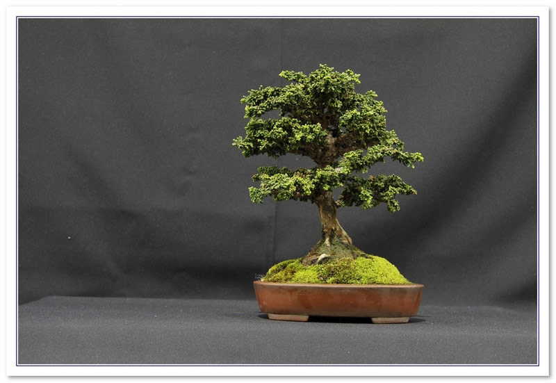Chamaecyparis obtusa  Bonsai Tree Type (Outdoors)