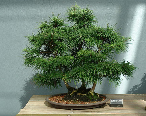 Golden Larch Bonsai Tree Type (Outdoors)