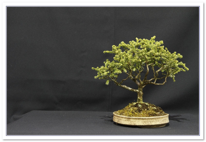 Picea Species Bonsai Tree Type (Outdoors)