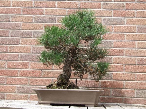 Kuromatsu - Bonsai Tree Type (Outdoors)