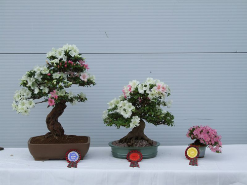 Azalea (Rhododendron) Bonsai Tree Type (Outdoors)