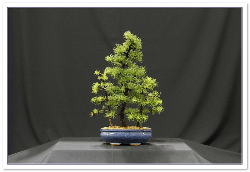 Bonsai_Samon_Yose.jpg image