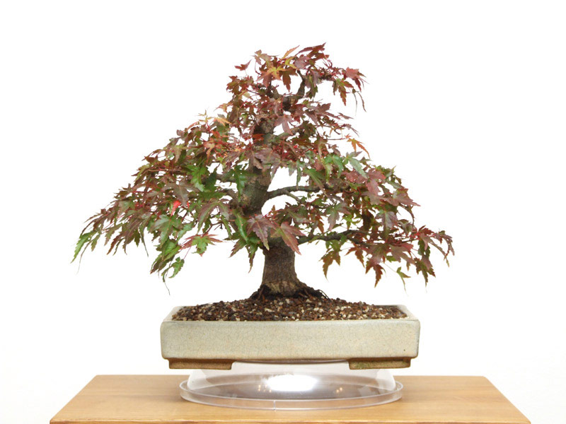 Acer (Genus) - Bonsai Tree Type (Outdoors)