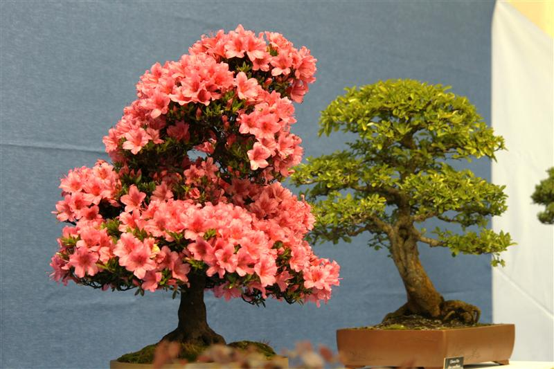 Bonsai_lateral_dominance_2.jpg image