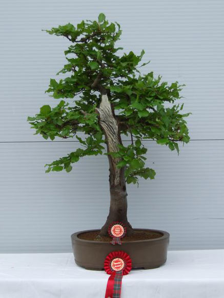 Dai - Bonsai Tree Style
