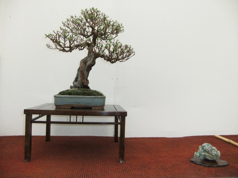 Devon_Bonsai_01.jpg image