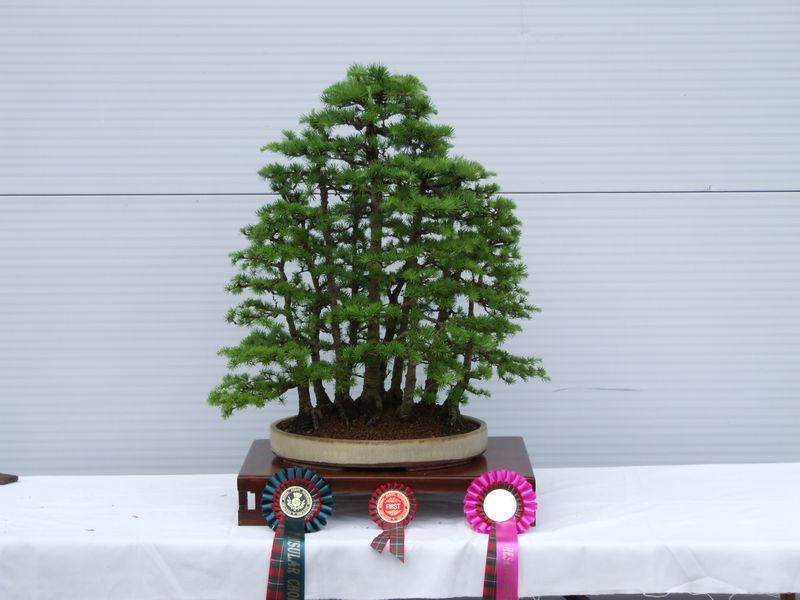 Gardening_Scotland_Bonsai_Winners_2012_171_Larch.jpg image