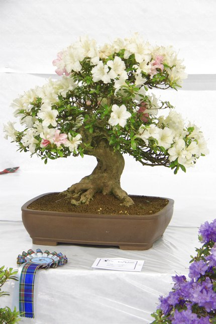Satsuki Azalea (Rhododendron Indicum) Bonsai Tree Type (Outdoors)