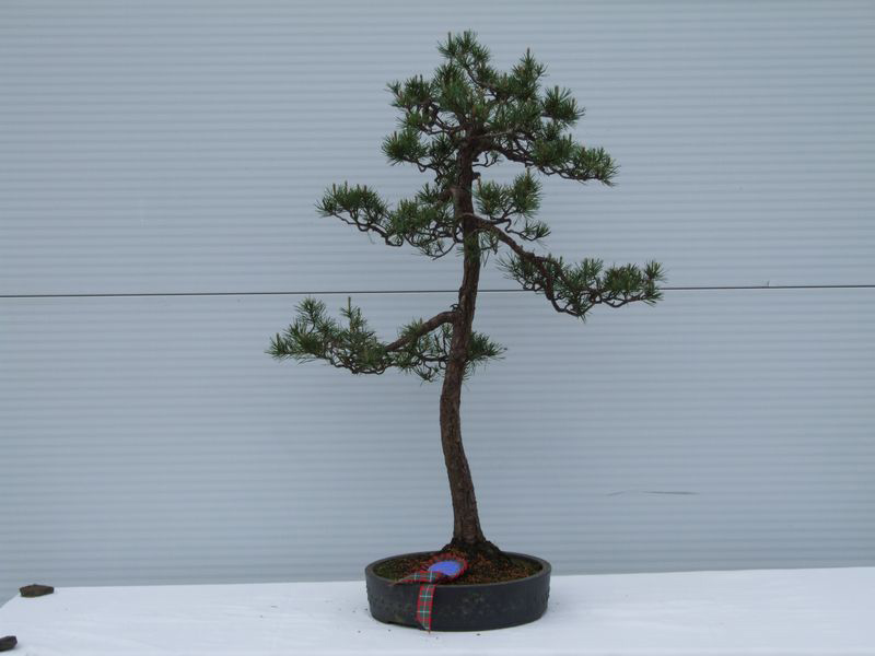 National Trees - Bonsai Tree Type (Outdoors)