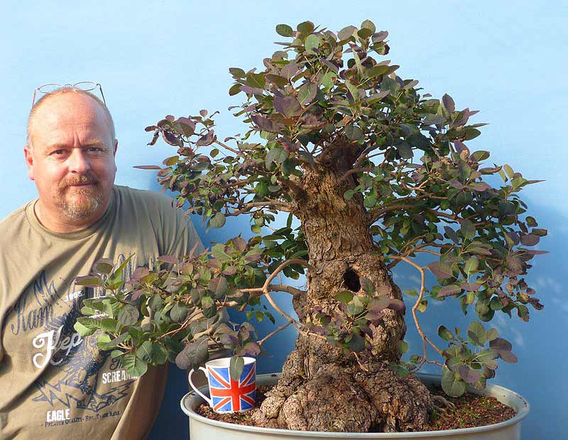 Cotinus (SmokeTree) Bonsai Tree Type (Outdoors)