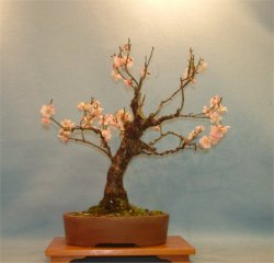 Apricot (Prunus mume) - Bonsai Tree Type (Outdoors)