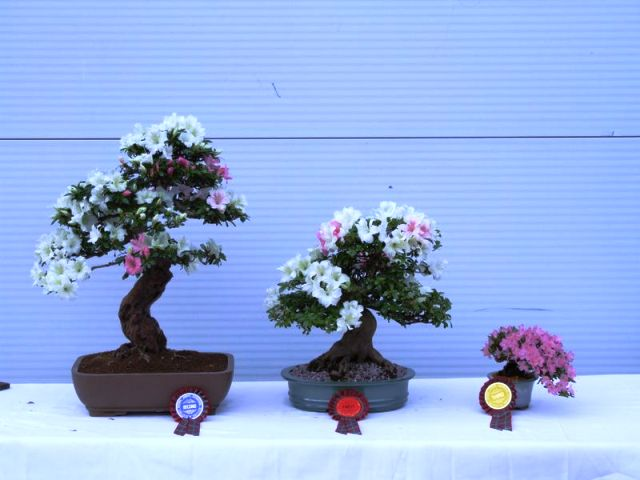 Rhododendron (Azalea) - Bonsai Tree Type (Outdoors)