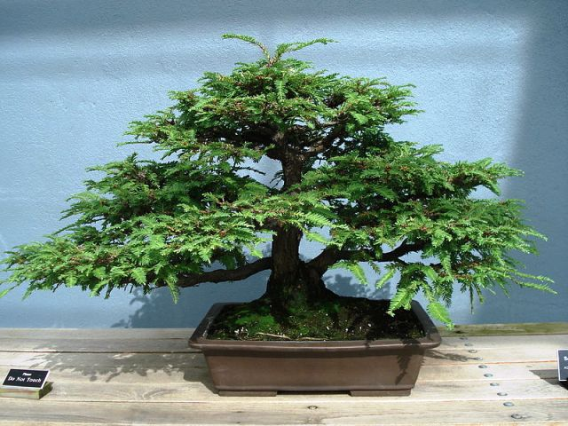 bonsai_californian_redwood_01.JPG image