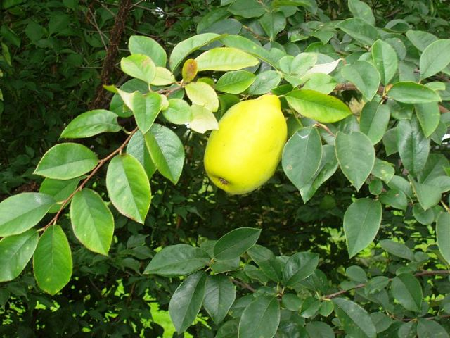 Quince - Chinese (Chaennomeles sinensis) - Bonsai Tree Type (Outdoors)