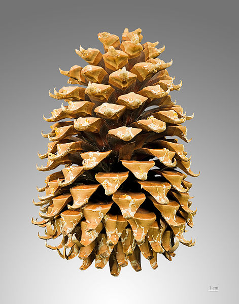 bonsai_conifer_cone_011.jpg image