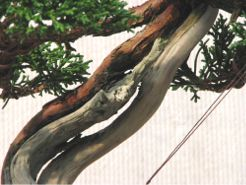 bonsai_deadwood_01.jpg image