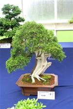 Bleaching deadwood Bonsai Procedure