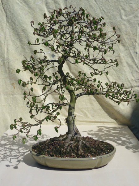 bonsai_english_elm_01.JPG image