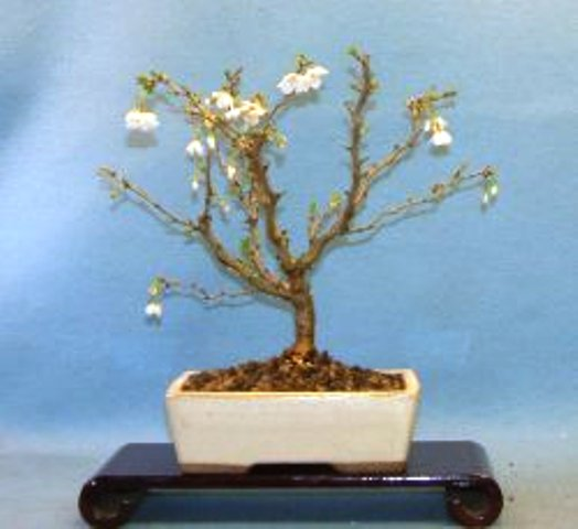 Cherry - Flowering (Prunus serrulata) Bonsai Tree Type (Outdoors)
