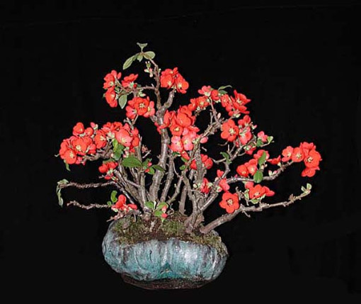 Quince - Flowering (Chaenomeles) - Bonsai Tree Type (Outdoors)