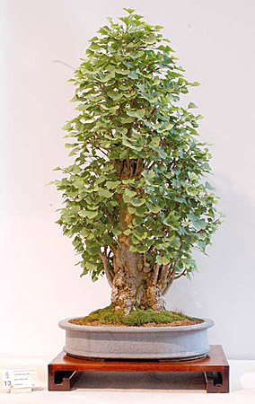 Gingko Biloba (Maidenhair tree) Bonsai Tree Type (Outdoors) image
