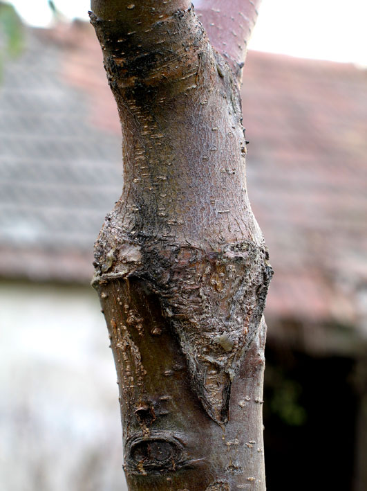 bonsai_graft.jpg image
