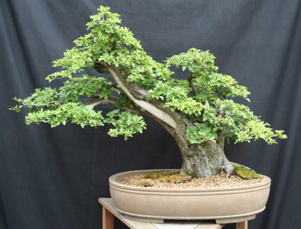 Hawthorn (Crataegus) Bonsai Tree Type (Outdoors)