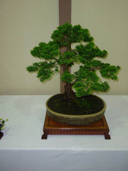Cypress (Chamaecyparis) Bonsai Tree Type (Outdoors) image