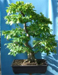 Hornbeam (Carpinus) Bonsai Tree Type (Outdoors)