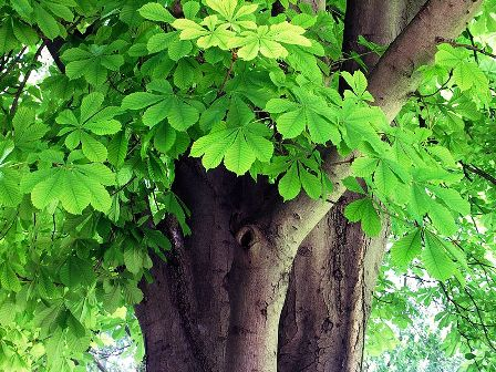 Horse Chestnut - Bonsai Tree Type (Outdoors)