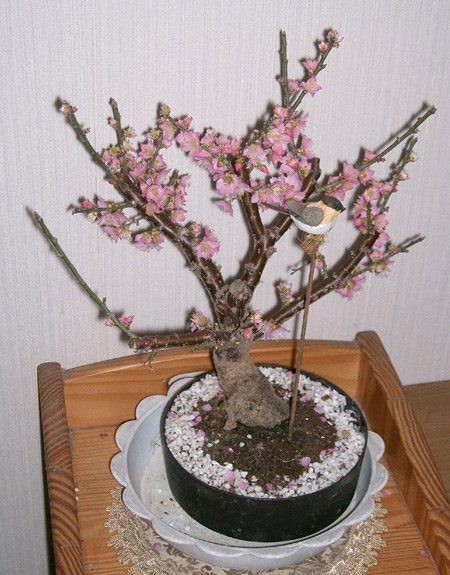 Ume (Japanese Plum) - Bonsai Tree Type (Outdoors)
