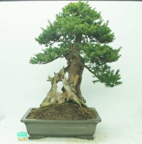 bonsai_japanese_yew_01.jpg image