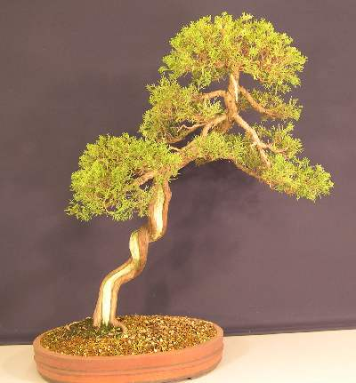 bonsai_juniper_02.jpg image