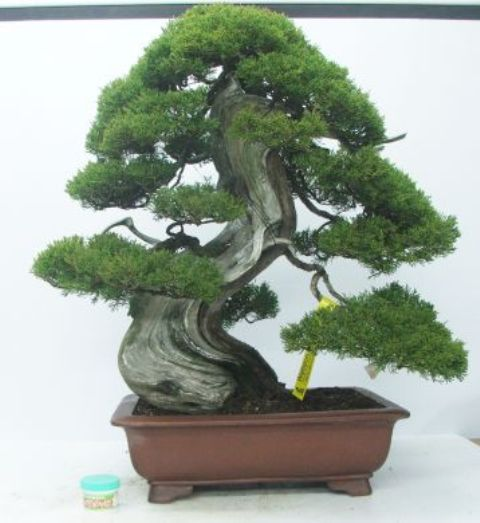 Itoigawa Juniper Bonsai Tree Type (Outdoors)