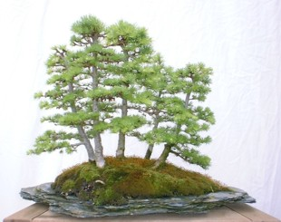 bonsai_larch_group_02.jpg image