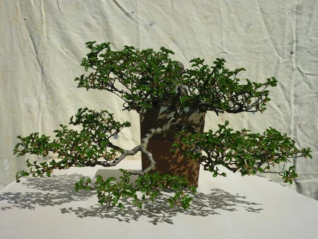 Nothofagus  Bonsai Tree Type (Outdoors)