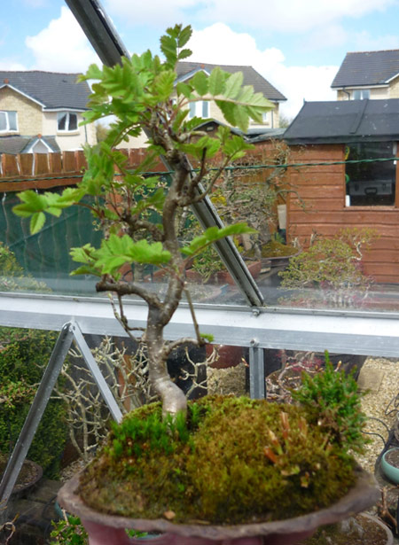 Rowan (Sorbus Aucuparia or Cashmiriana) - Bonsai Tree Type (Outdoors)