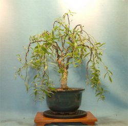 Weeping - Bonsai Tree Style