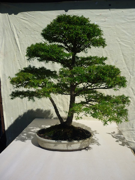 Hemlock - Western/Eastern (Tsuga heterophylla/canadensi Bonsai Tree Type (Outdoors)