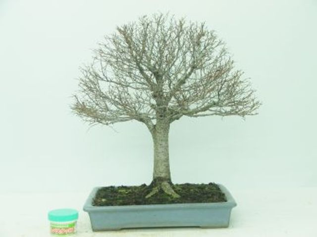 Elm - Japanese (Zelkova Serrata) - Bonsai Tree Type (Outdoors)