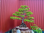 Scottish National Collection Bonsai