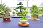 Bonsai Tree National Exhibition 2012